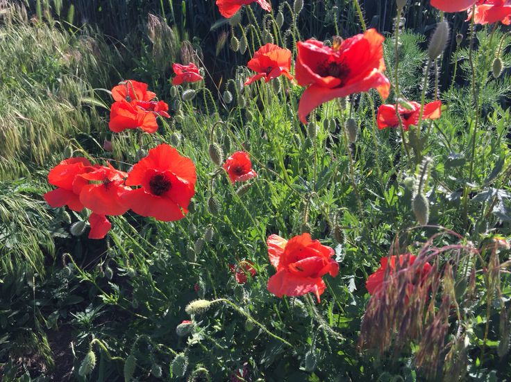 Red wild poppies along the road.