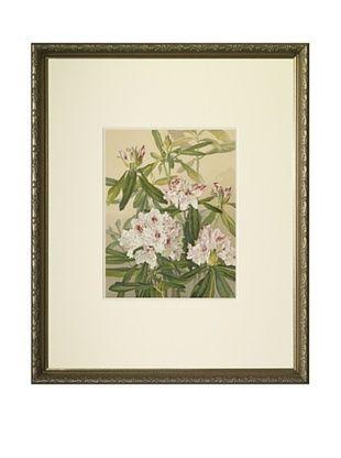 1903 Rhododendron Botanical Chromolithograph