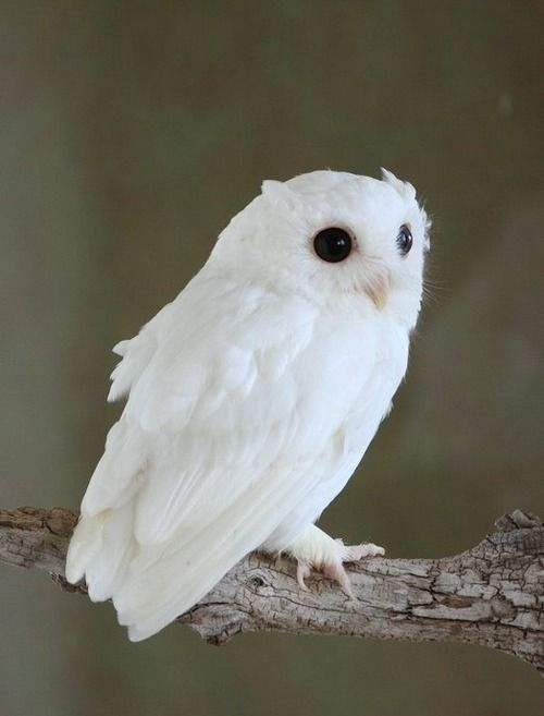 Albino owl                                                       …