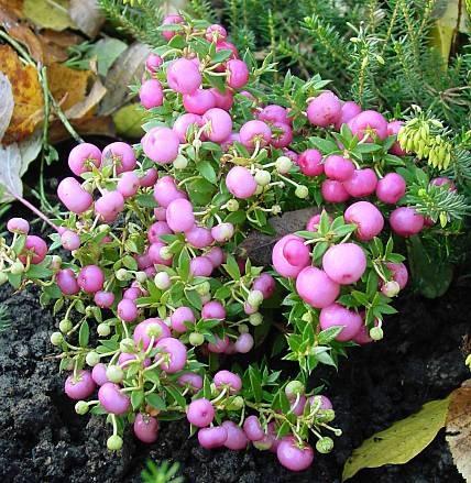 In autunno le bacche colorano giardino e balcone: Pernettya mucronata (c) countrystoreplants.com