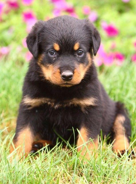 Precious Rottweiler Puppy Precious Adorable Puppy