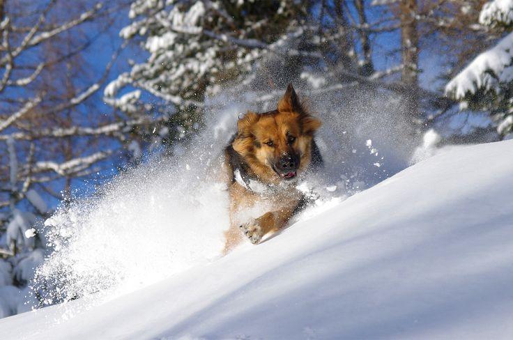 TREK SAFARI | AVELENGO DI SOPRA | SNOWCAMPITALY | L'arte del solcare neve profonda è qualcosa di innato e naturale negli animali selvatici. Hanno il potere di far sembrare un gesto motorio così complesso qualcosa di estremamente semplice. Riuscire a rievocare e sviluppare questa indole in un animale domestico è qualcosa di incredibile. Del resto siamo in presenza di Fiona Von Tripps, non di un qualsivoglia freerider. http://www.snowcamp.it/?p=4569