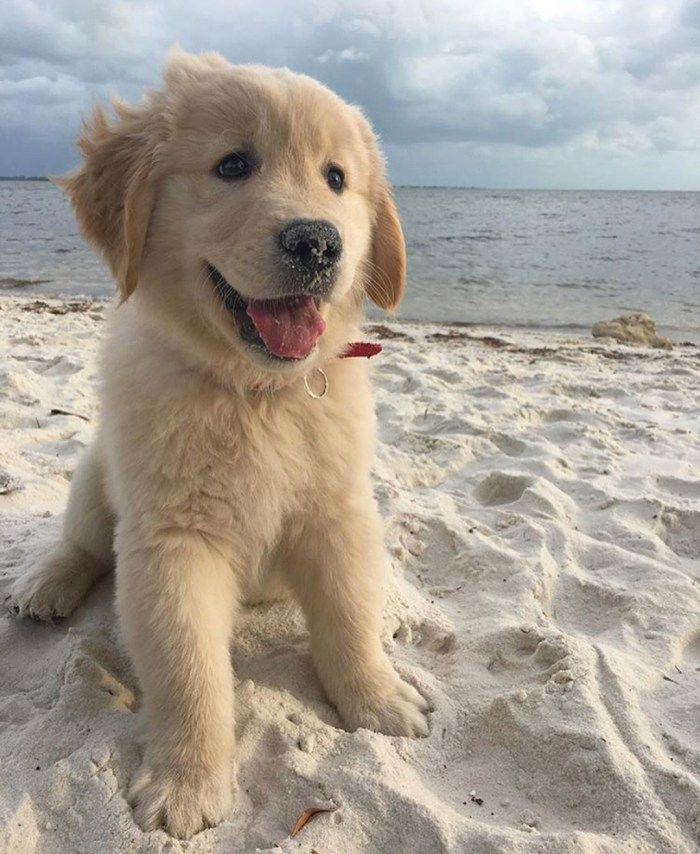 10 Cute Golden Retriever Puppies Playing On The Beach With Sandy