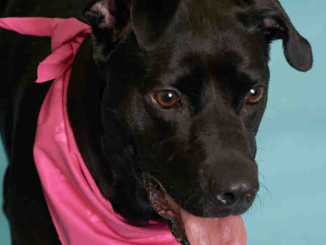 Miss Cleo is a high energy firecracker.  This tiny little pittie is currently in a foster home learning some manners.  Cleo's adopter would need to continue to work with her on manners and self control because she is a ball of energy!  When she came...