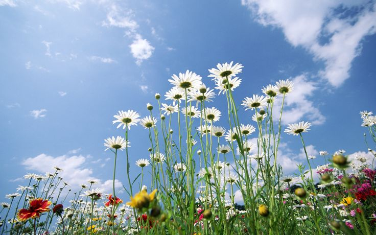 birds with daisy flower background - Bing images