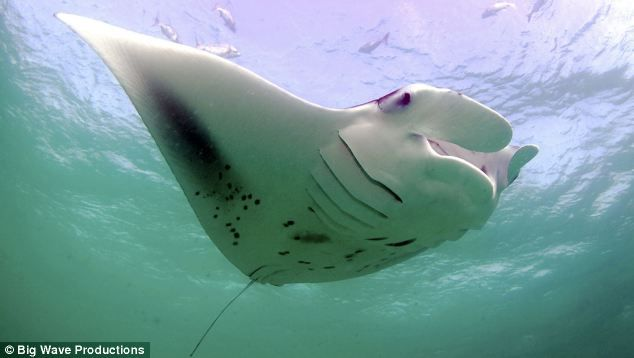 hunting of manta rays has become so common that experts believe the species could be close to extinction