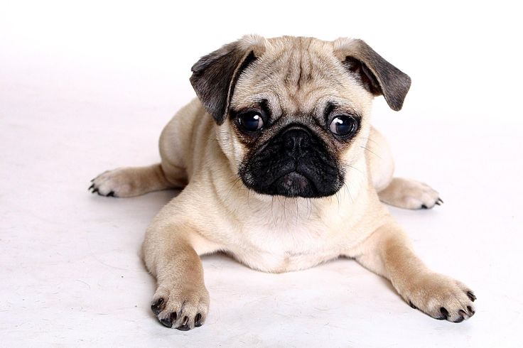 Pug | ... · Gallery · Animals · Chinese Pug | Free Background 2048x1365