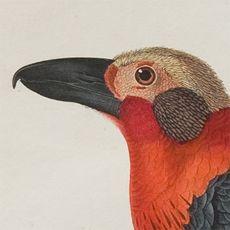 Vogelkop / Museum Naturalis