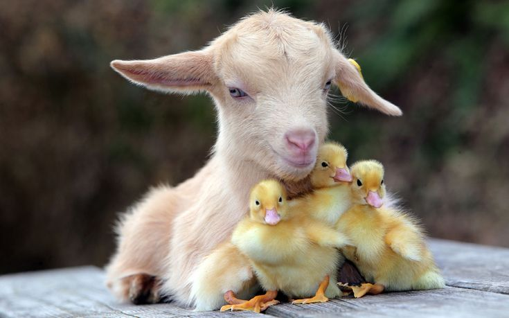 A warm spring day at Pennywell Farm in Devon where a young goat kid becomes mum providing somewhere soft and furry for the ducklings who have no mum because they were hatched in an incubator