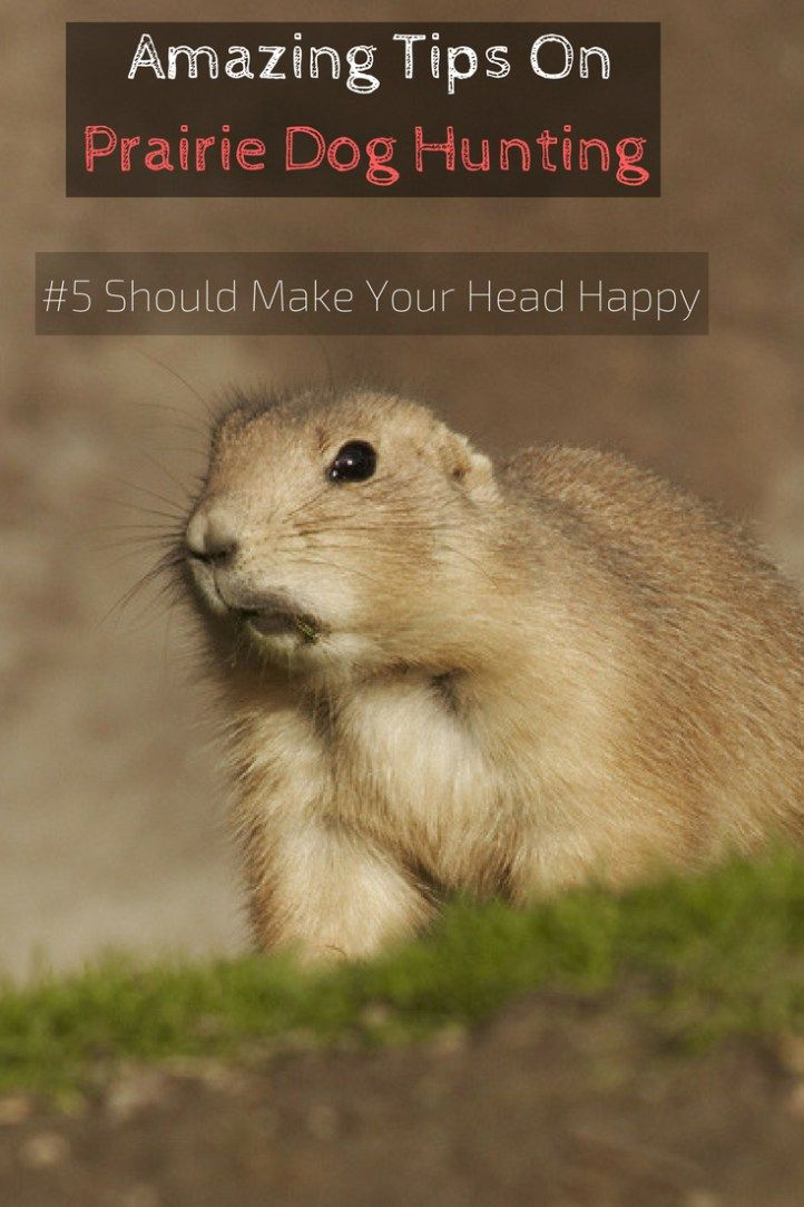 prairie-dog-hunting-tips Amazing Tips On Prairie Dog Hunting (#5 Should Make Your Head Happy)