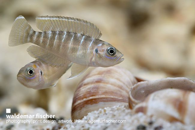 "Neolamprologus brevis ""Sunspot"" Pair"