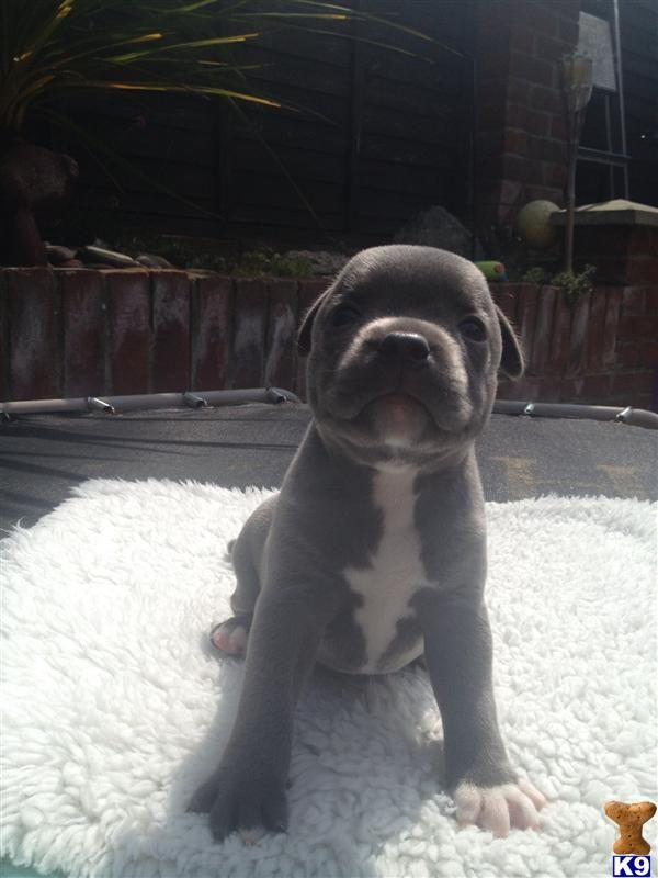 Blue staffie puppies for sale