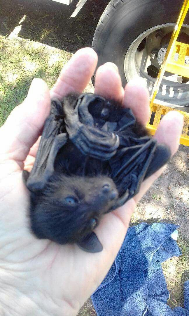 Baby flying fox being rescued?