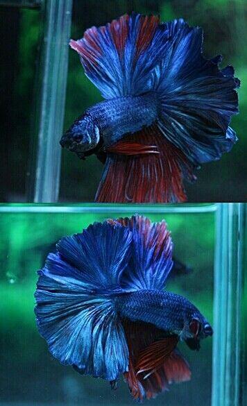 808 Blue red hawk OHM male