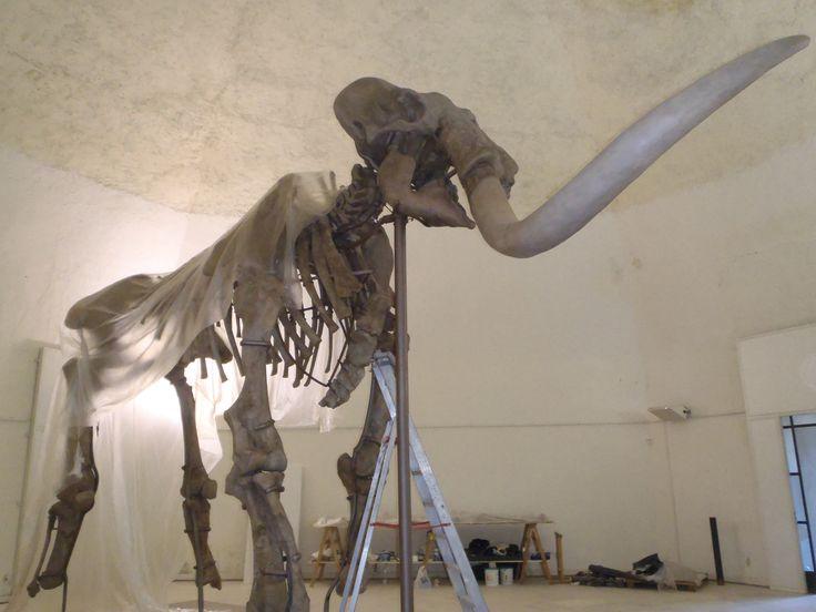 Restauro Mammuthus Meridionalis. Fortezza Spagnola - L'Aquila.       http://www.arpadova.com/          #mammuth