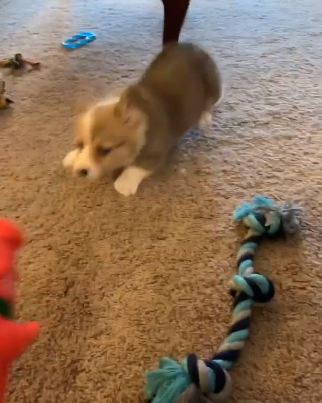 Pin By The Corgi Union On Cute Corgi Puppy Rule The World Video