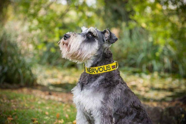 Yellow NERVOUS Clip Collar   Model: Scottish Terrier