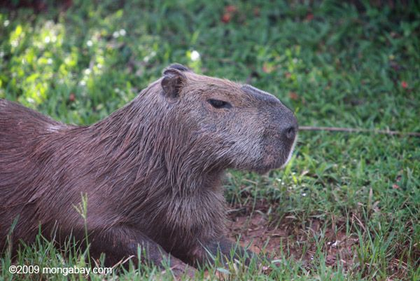 Capybara (Hydrochoerus hydrochaeris) this is the largest rodent on the planet.