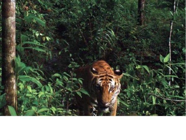 Descubren tigres indochinos en Tailandia. Visite nuestra página y sea parte de nuestra conversación: http://www.namnewsnetwork.org/v3/spanish/index.php #nnn #bernama #malasia #malaysia #tigres #indochina #indonesia #tailandia #news #noticias #conservacion #tailandia #asia