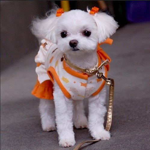 maltese dog haircuts - - Yahoo Image Search Results