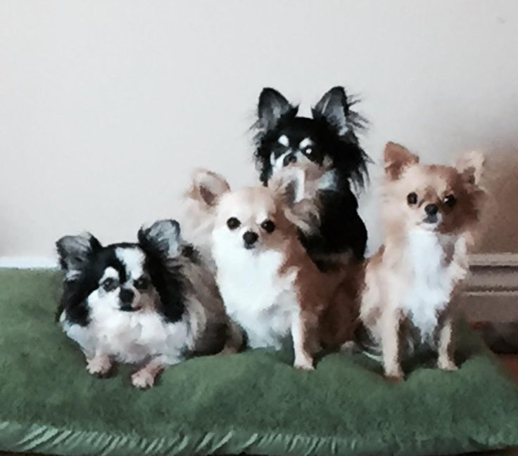 Right breed for you? Chihuahua information including personality, history, grooming, pictures, videos, how to find a Chihuahua and AKC standard.