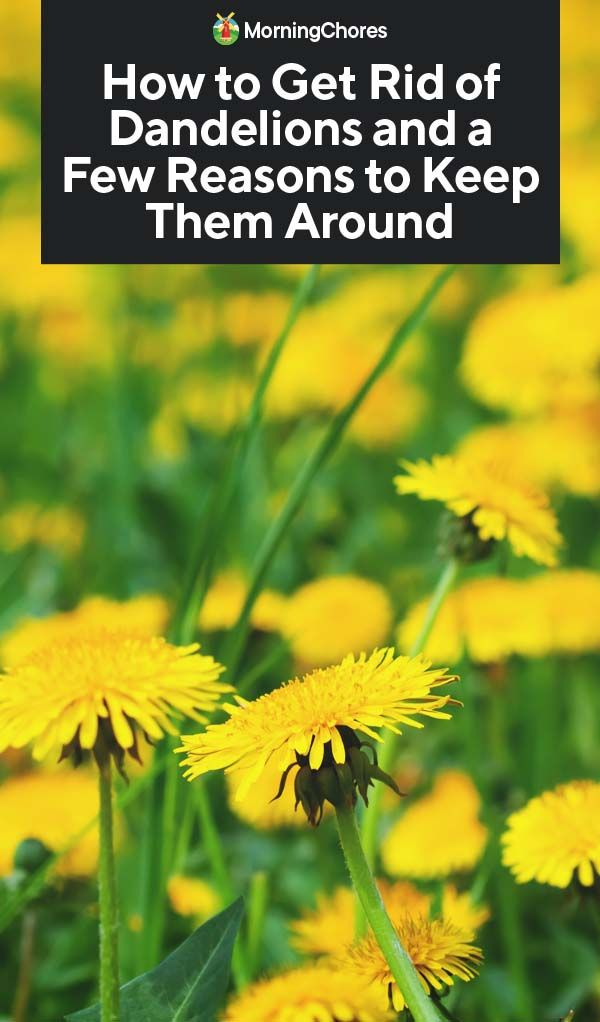 How To Get Rid Of Dandelions And A Few Reasons To Keep Them Around Get Rid Of Dandelions Dandelion Garden Pests