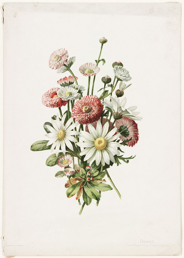 File name: 07_11_000440  Title: Daisies  Creator/Contributor: Lunzer, Alois (artist); L. Prang & Co. (publisher)  Date issued:   Copyright date: 1886  Physical description note:   Genre: Chromolithographs; Still life prints  Location: Boston Public Library, Print Department  Rights: No known restrictions