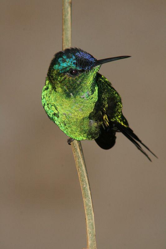 Fotografía Picaflor Corona Violacea! de Fernandito Castillo en FotoNat.org