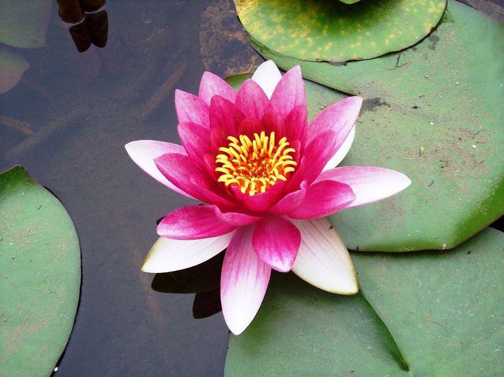 Gambar Bunga Teratai Dengan Putik Warna Kuning