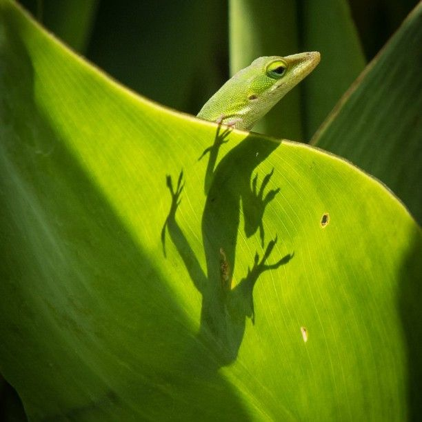 Carolina Anole on the grounds of the State Botanical Garden of Georgia in Athens