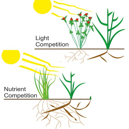 Competitive crops are important for sustainable cropping systems. For perennial weeds below-ground organs for instance rhizomes for couch grass constitute the best measure of a crops long term suppressive capabilities.  Light competition versus nutrient competition.  Ringselle et al. found that the type of competition (primarily for light or nutrients) utilised by a crop influences both the suppression rate and the likelihood of whether the crop will successfully alter the weeds allocation…