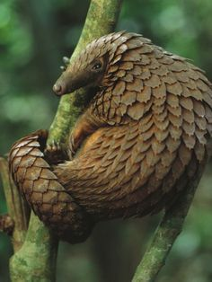 1000+ images about Pangolin on Pinterest | Mammals, Keratins and ...