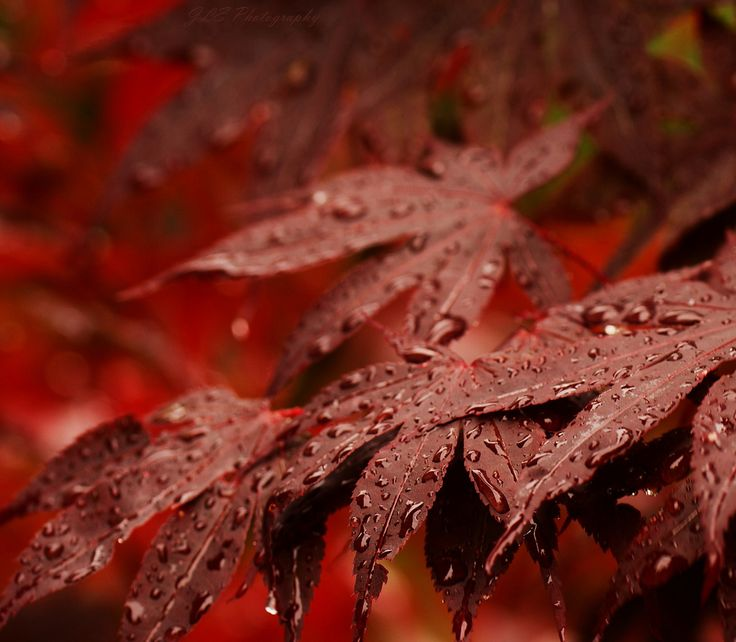 Red Chinese Maple Tree