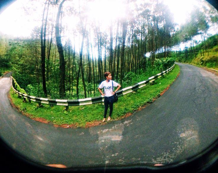 Pohon pinus magelang #indonesia