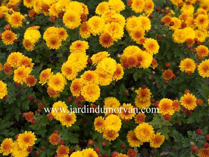 CHRYSANTHEMUM INDICUM 'BIENCHEN' une plante jaune-orangé qui fleurit de septembre à novembre. Une plante vivace du Jardin du Morvan, la pépinière de plantes vivaces rustiques de Thierry DENIS.