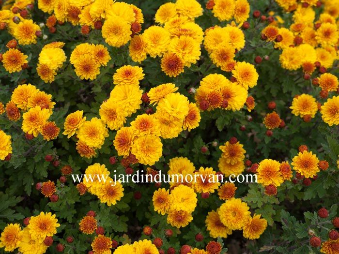 Chrysanthemum indicum bienchen une plante jaune orang for Catalogue plantes jardin