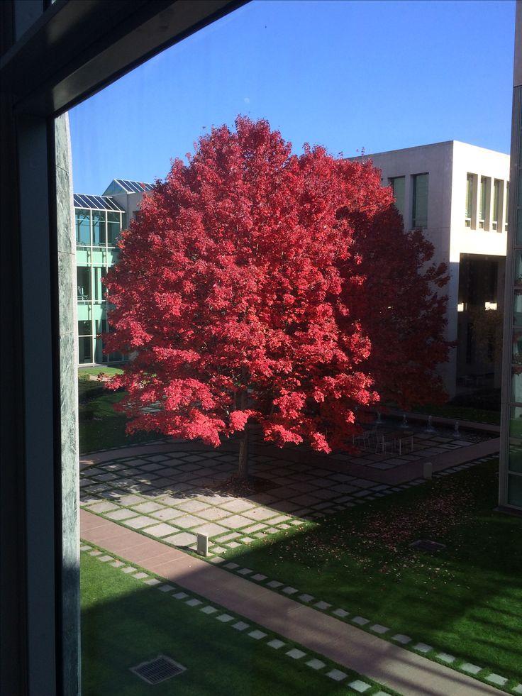 The Budget tree Japanese Maple, October Glory (Acer Rubrum)
