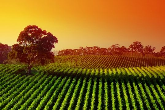 Sunset Vineyard Wallpaper Wall Mural | MuralsWallpaper.co.uk