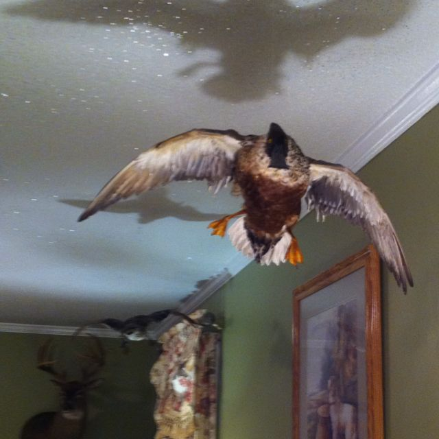 31 best images about mounts on pinterest for Fishing for ducks