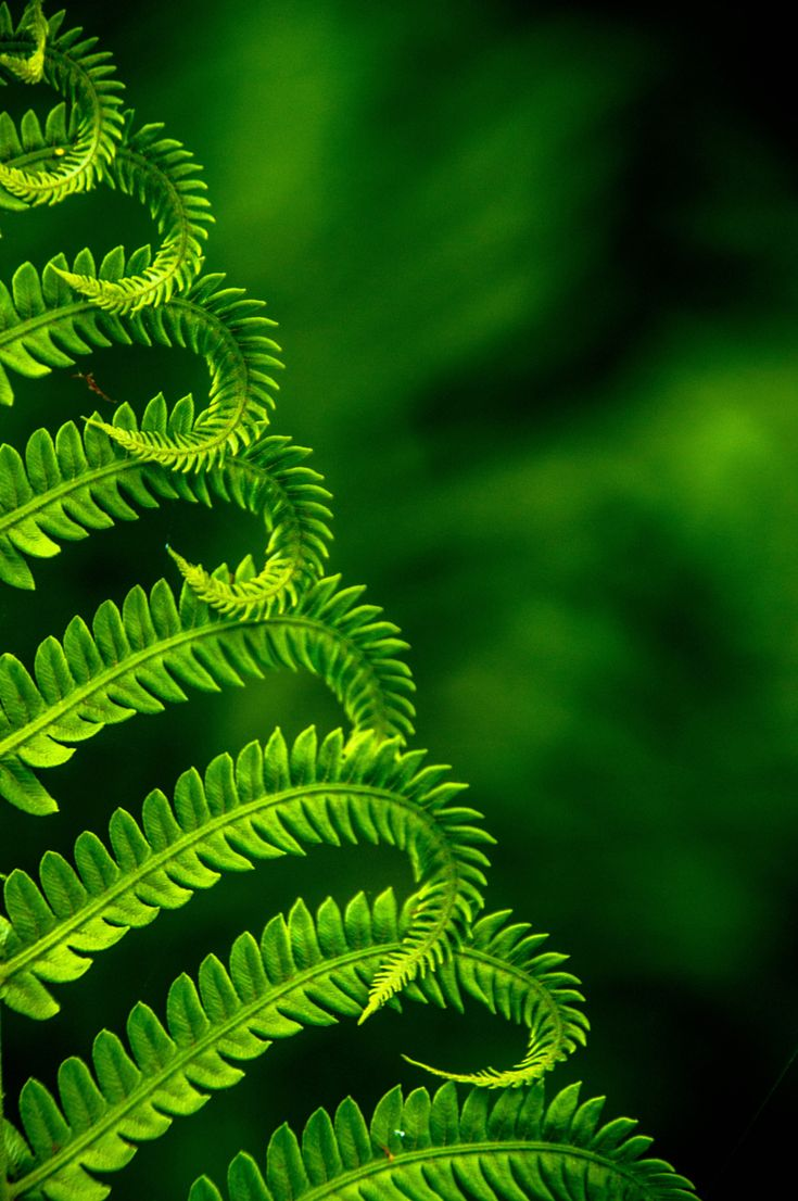 ~~The Fern | new spring growth, macro | by Nick Sanquilly~~
