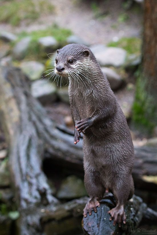 What excellent balance you have, otter! - January 20, 2018