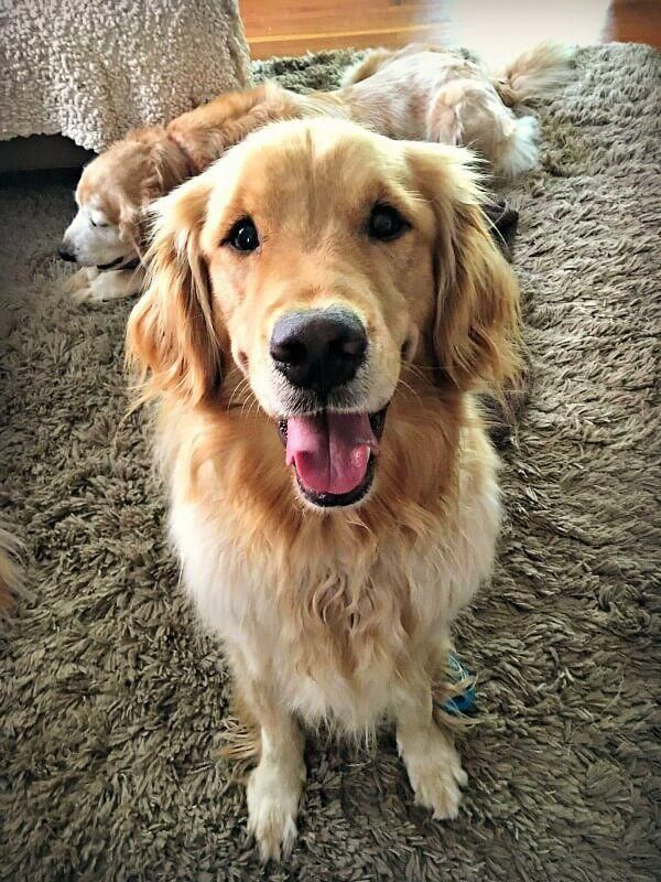 Weekend Golden Retriever Summer Camp Sushi Donuts Dogs