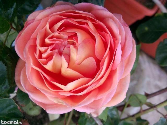 dulceata trandafiri - Căutare Google