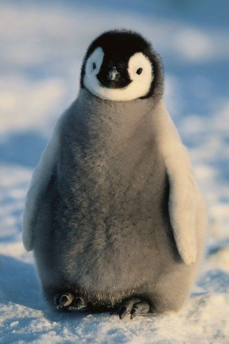 We need this baby Emperor penguin in our life. It's so fluffy!