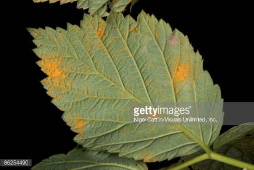 Raspberry rust (Phragmidium rubi-idaei) orange pustules on raspberry leaf lower surface.