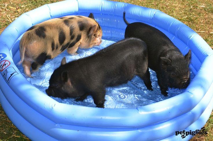 Micro Pigs Swimming