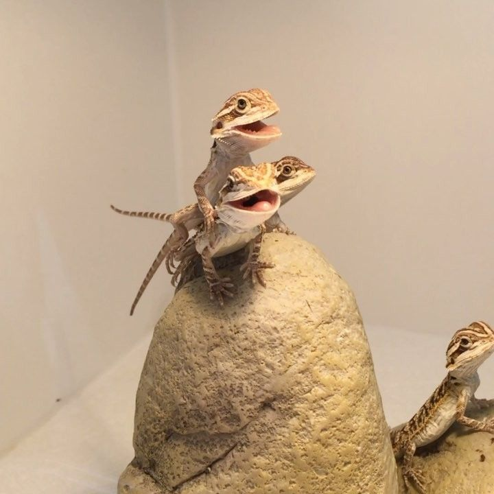 """1,499 Likes, 35 Comments - Bearded Dragon Lady (@beardeddragonlady) on Instagram: """"Basking babies: When bearded dragons open their mouth like this they're trying to regulate their…"""" #beardeddragonpet"""