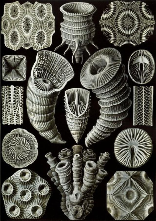Ernst Haeckel - Kunstformen der Natur - Artforms of Nature: Illustration by Ernst Haeckel