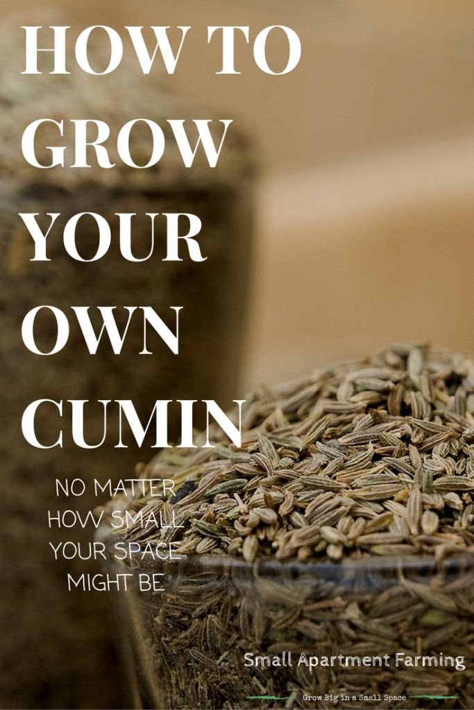 Everything you need to grow and care for your own cumin plants in containers, as well as how to harvest the seeds to store for later.