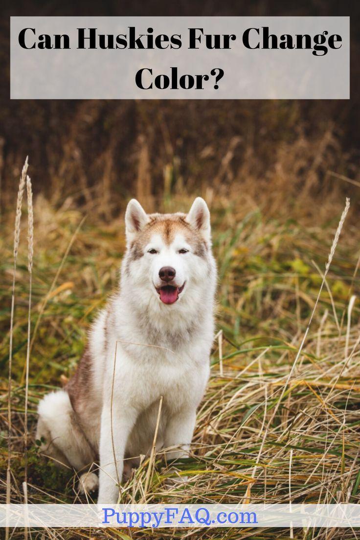 Can Huskies Fur Change Color Dog Facts Husky Dog Breeds